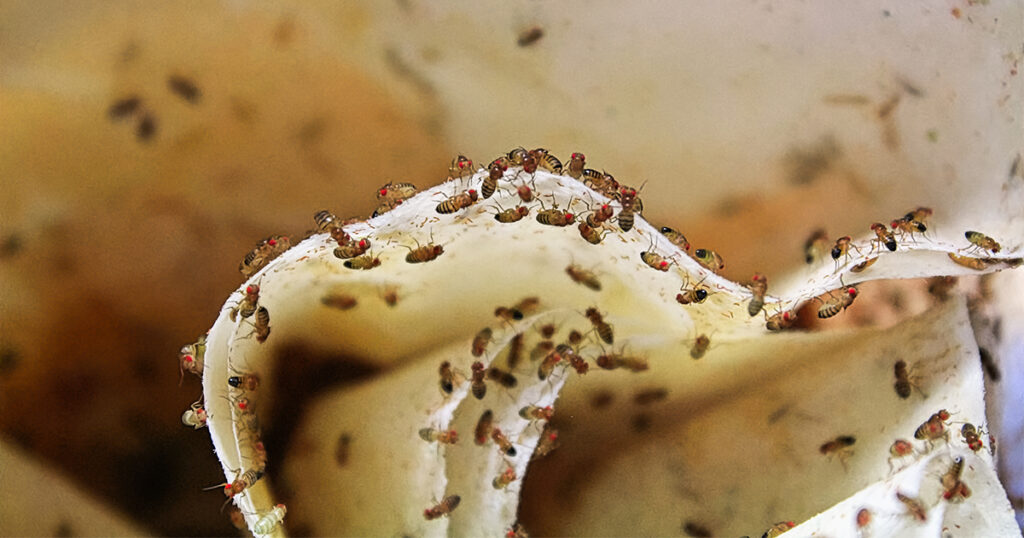 OPC Pest Services - Fruit Flies