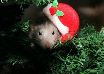 Rodents Can Ruin Your                Holiday Festivities.