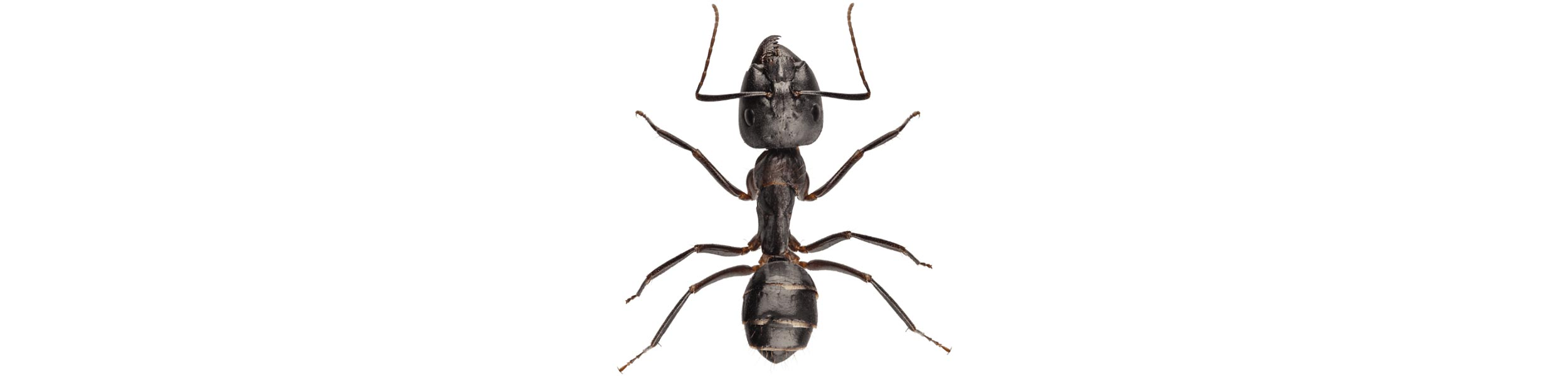 OPC Pest Control - Ants Header