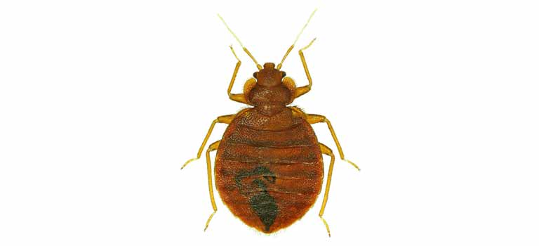 OPC-Pest-Control-Bed-Bug-Header-Mobile