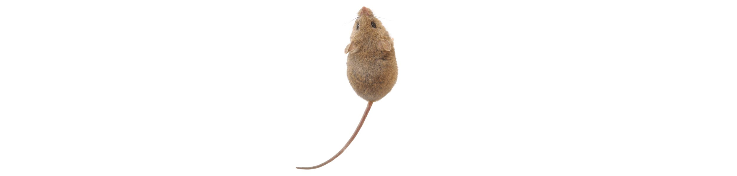 OPC-Pest-Control-Rodents-Mouse-Rat-Header