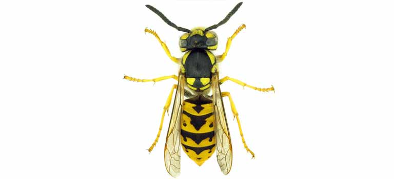 OPC-Pest-Control-Wasps-Header-Mobile