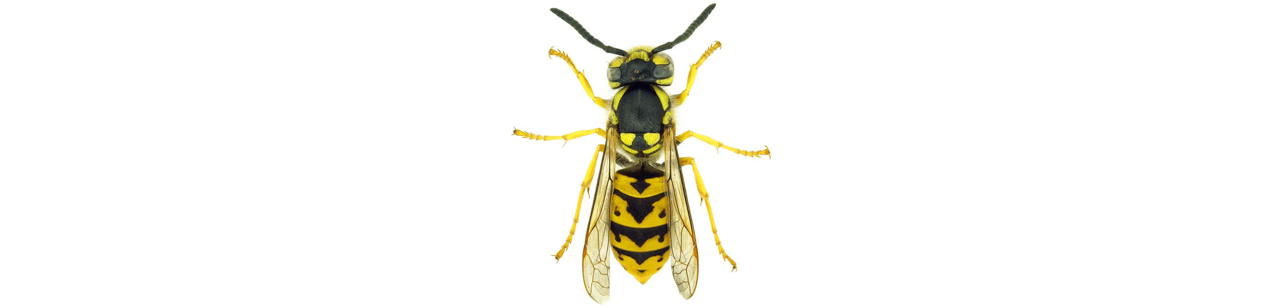 OPC-Pest-Control-Wasps-Header