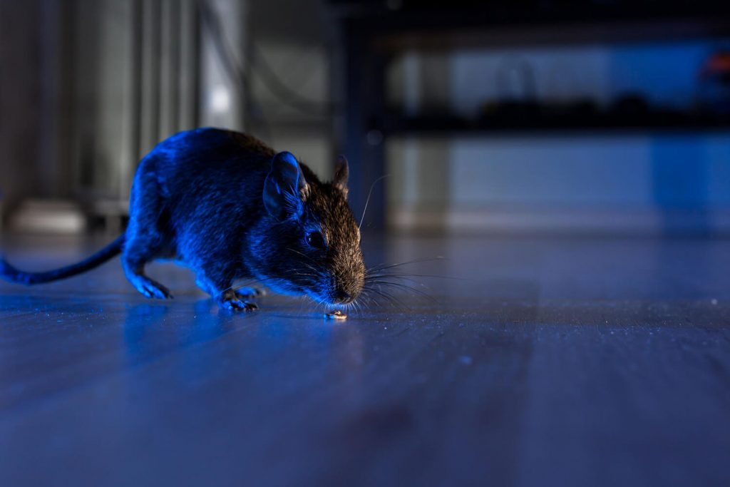 OPC Pest - Rodent On Floor