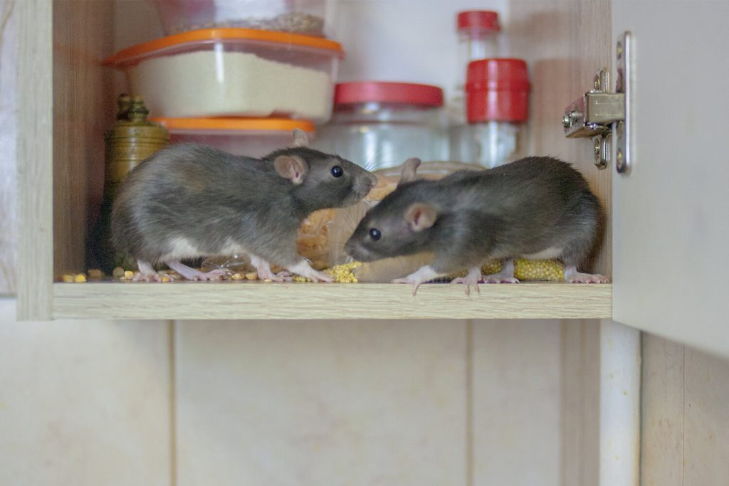OPC Pest - Rodents In Cupboard