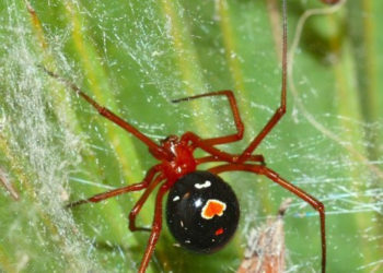 5 of the Deadliest Spiders in the U.S.