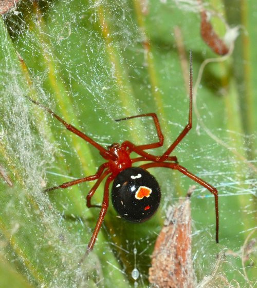 OPC Pest Services - Five Deadliest Spiders - Red Widow Blog