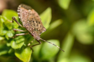 OPC Pest Services - Invasive Stink Bugs Blog