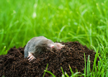 OPC Pest Services - Moles In Yard Blog
