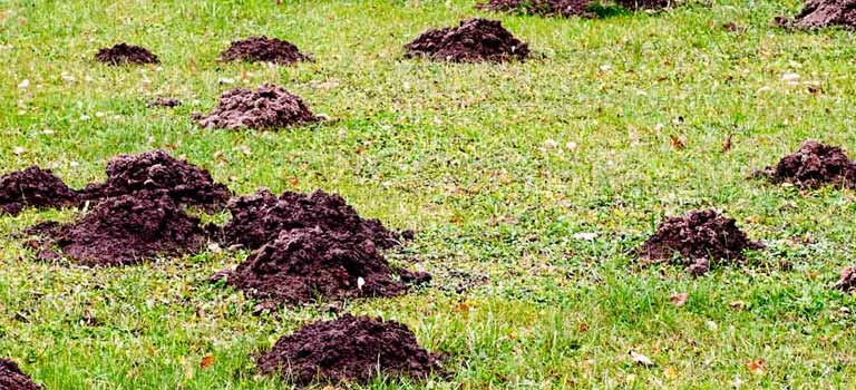OPC-Pest-Services-Moles-Mole-Damaged-Yard-Header-Mobile