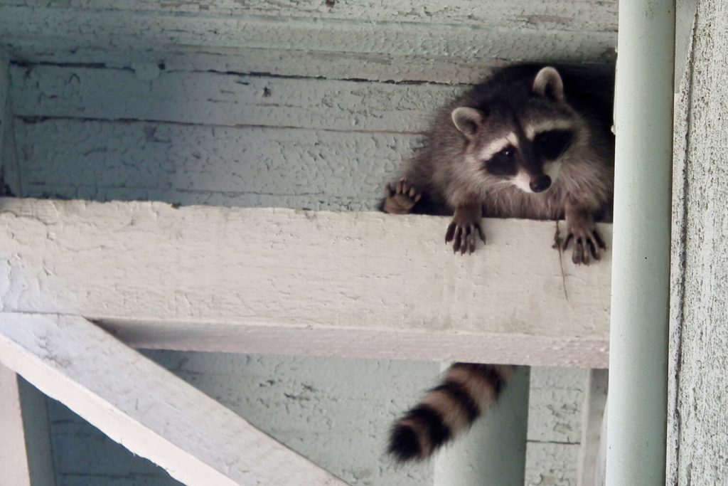 OPC Pest Services - Raccoon