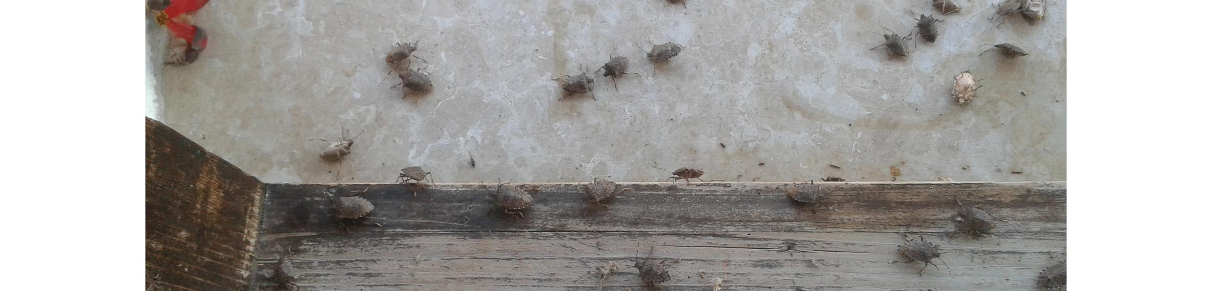 OPC-Pest-Services-Stink-Bug-Infestation-Home-Wall-Ceiling-Header
