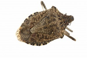 OPC Pest Services - Stink Bugs On The Rise Blog