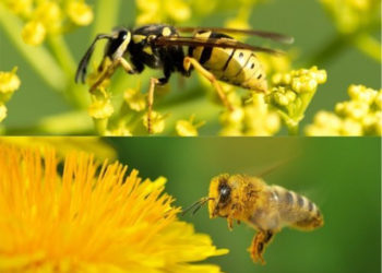 What Are the Main Differences Between Wasps and Bees?