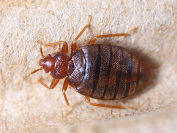 OPC Pest Services - Why Do I Have Bed Bugs Blog