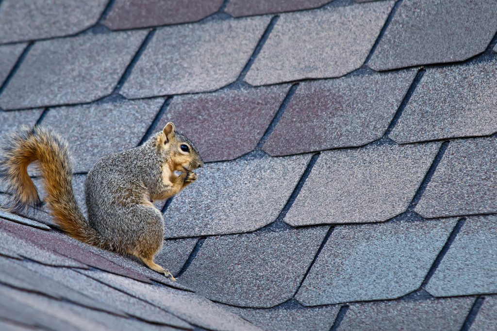 OPC Pest - Squirrel on Roof