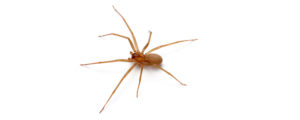 OPC Pest - Brown Recluse Spider